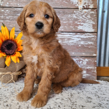 Goldendoodle Puppy Bailey