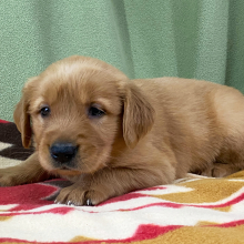 Golden Retriever Puppy Helen
