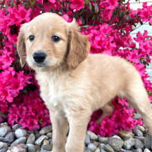 Goldendoodle Puppy Jimmy