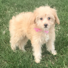 Aussiedoodle Puppy Addy