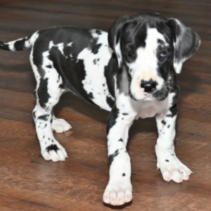 Betsy Great Dane Puppy 626521 Puppyspot