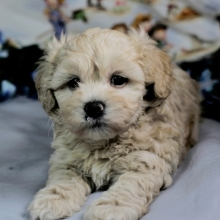 Funny Maltipoo Puppies For Sale In Texas Craigslist