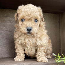 Poodle Puppy Biscuit