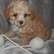 Poodle Puppy Katy