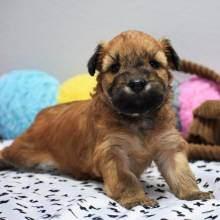 Soft Coated Wheaten Terrier Puppy Lego