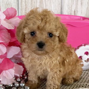 Poodle Puppy Wrenli