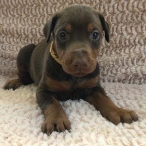 Lilly Doberman Pinscher Puppy