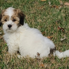 Shihpoo Puppy Chipp