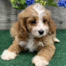 Cavapoo Puppy Chester
