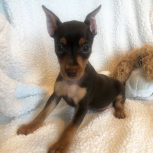 Miniature Pinscher Puppy Vikter