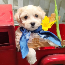 Maltipoo Puppy Theo