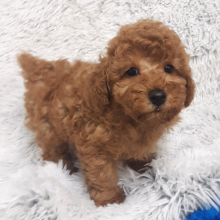 Poodle Puppy Joey
