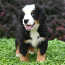 Bernese Mountain Dog Puppy Ted