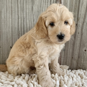 Truvy Goldendoodle Puppy