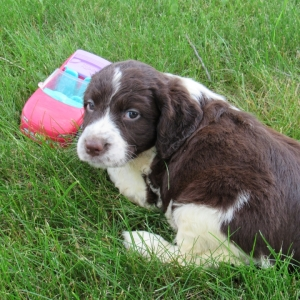 Lucy English Springer Spaniel Puppy