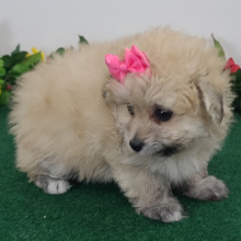 Pomapoo Puppy Lucy