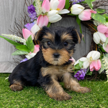 Yorkshire Terrier Puppy Abby