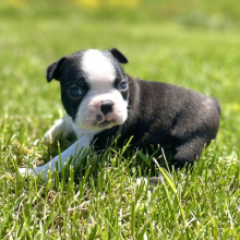 Boston Terrier Puppy Sadie