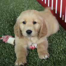 Golden Retriever Puppy Cali
