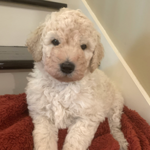 Goldendoodle Puppy Dobby