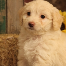 Zoie Goldendoodle Puppy