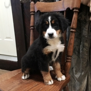 Mandy Bernese Mountain Dog Puppy