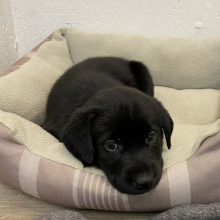 Labrador Retriever Puppy Mckinley