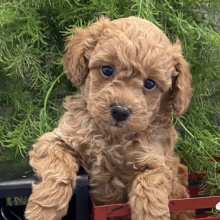 Poodle Puppy Axle