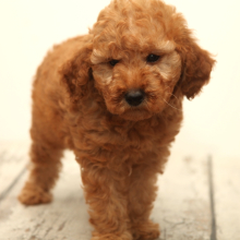 Goldendoodle Puppy Poker Face
