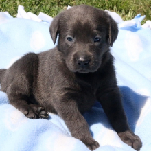 Labrador Retriever Puppy Blitz