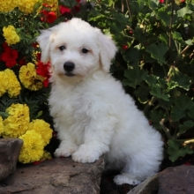 Bichon Frise Puppies for Sale | PuppySpot