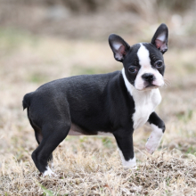 Boston Terrier Puppy Lilly