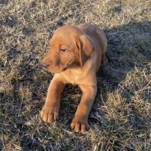 Labrador Retriever Puppy Jax