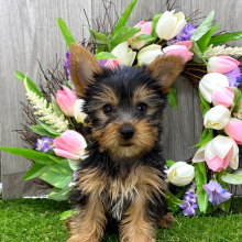 Yorkshire Terrier Puppy Tucker