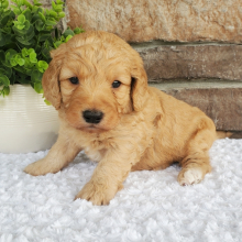 Goldendoodle Puppy Marshall
