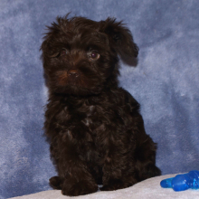 Miniature Schnauzer Puppy Mark