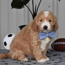 Goldendoodle Puppy Kirby